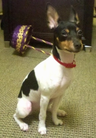 Toy Rat Terriers For Sale : terriers, Terrier, Breed, Information, Pictures