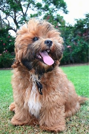 Shorkie Poo Puppies : shorkie, puppies, Shorkie, Breed, Information, Pictures
