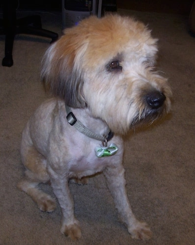 Soft Coated Wheaten Terrier Haircut : coated, wheaten, terrier, haircut, Coated, Wheaten, Terrier, Breed, Information, Pictures