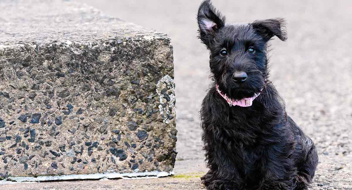 Scottish Terrier - Information. Photos. Characteristics. Names