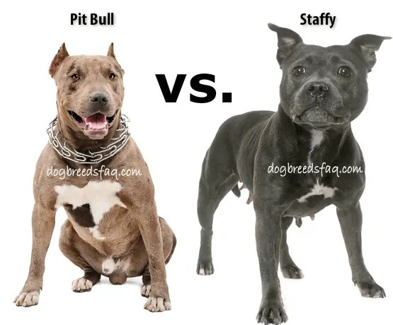 are pit bulls and