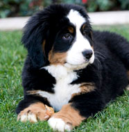 https://i0.wp.com/dogbreedsinfo.org/images/Bernese_Mountain_Dog_Puppy.jpg