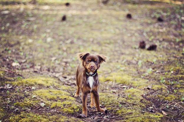 Chiweenie Dogs and Puppies [GUIDE] Dog Breed Information