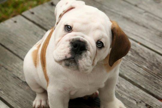 Английский бульдог: выбор щенка. Английский бульдог: описание породы, характер, уход, как выбрать щенка Какие документы нужны для щенка английский бульдог
