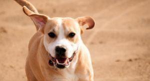 pitbull lab mix behavior