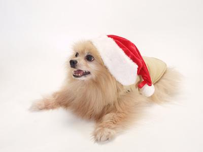サンタの帽子をかぶったポメラニアン