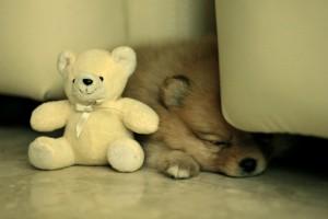 家で寝ているポメ
