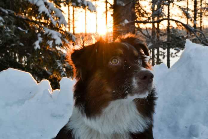 medium coated black and white dog near snow