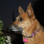 A head and shoulders photo of a honey-brown dog with a black muzzle. She has prick ears a bit like a German Shepherd's. She is alert and looking at something to the side of the camera.