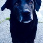 Senior black dog with gray muzzle