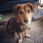 Stella, mixed breed dog with canine cognitive dysfunction