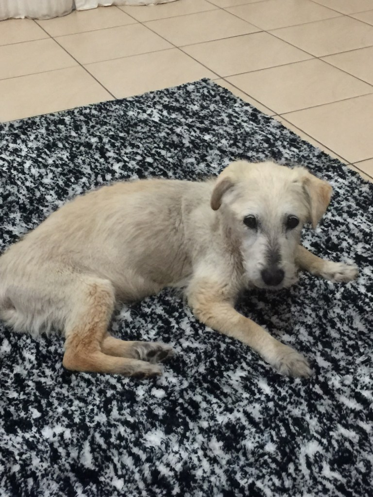 Terrier with canine cognitive dysfunction