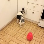 Cricket, dog with canine cognitive dysfunction, standing with her head in a corner