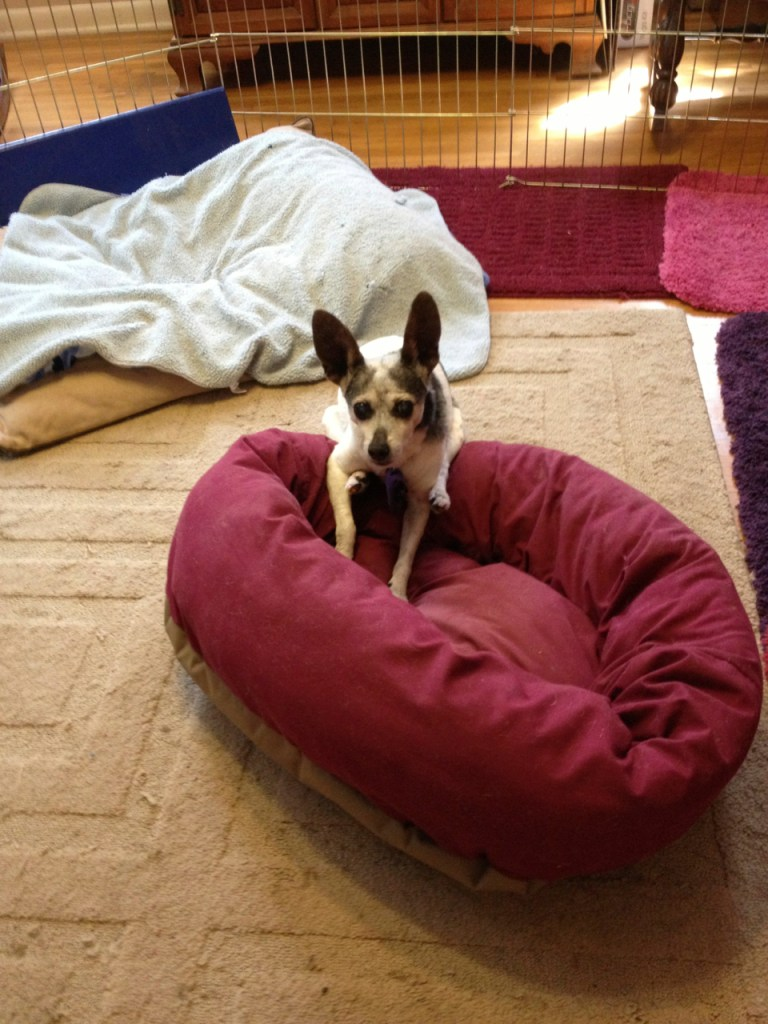 Cricket, dog with canine cognitive dysfunction, lying halfway on her bed and halfway off
