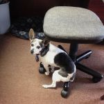 Cricket, dog with canine cognitive dysfunction, sitting awkwardly on the base of an office chair
