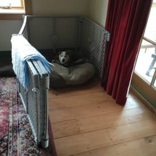 A brown and white terrier is in his bed inside an open exercise pen