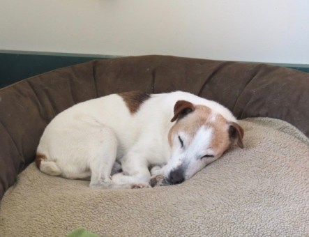 Beetle, a brown and white Jack Russell Terrier