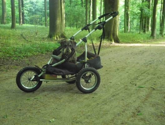 dachshund in a custom stroller in the woods
