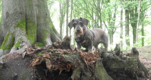 wire haired dachshund in the woods in Belgium