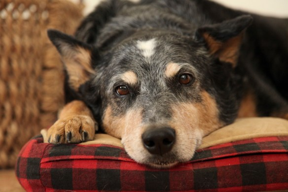 Closeup of an old, mixed breed dog's face as she gazes at the camera with her chin on a bed