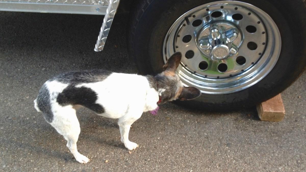 Sniffing as enrichment activity. Senior rat terrier sniffing a tire.