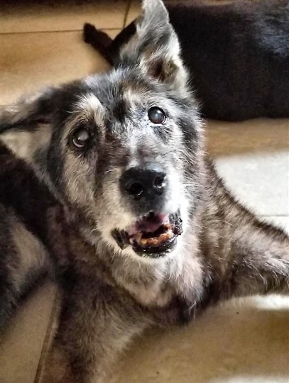 senior elkhound mix with dementia