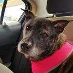elderly bully breed mix