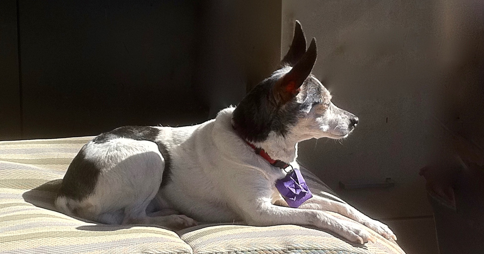 What Does Canine Cognitive Dysfunction Look Like?