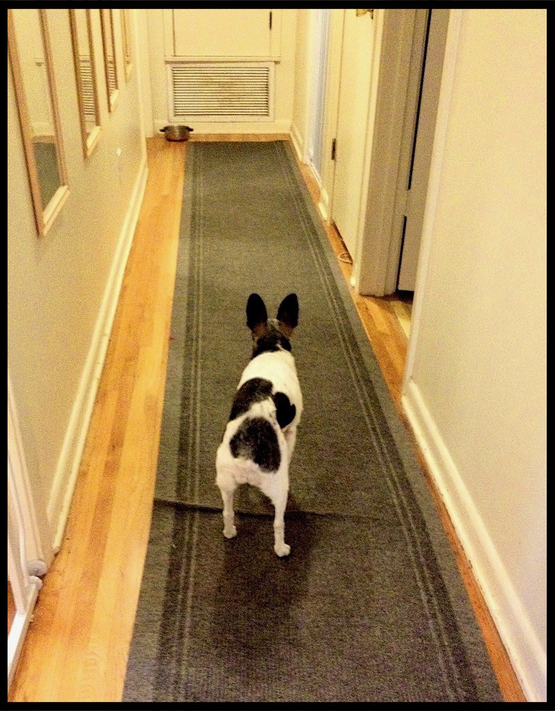 rat terrier with canine cognitive dysfunction stands in a hallway