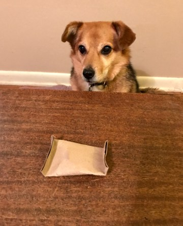 a brown and black dog is staring at a cardboard packet of food used in a nosework game