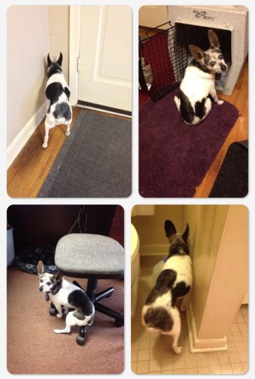 Photo shows 4 different dog dementia symptoms: the dog standing with her head in the corner, wedged in a tight space, and two photos where she is perched sitting in odd places