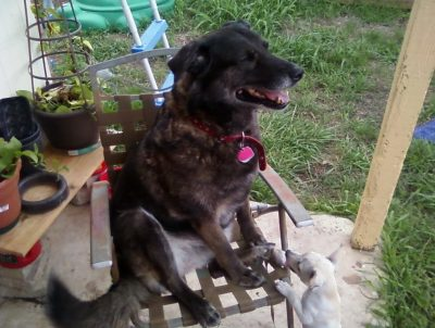 senior elkhound mix sitting in a chair