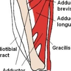 Dog Hind Leg Diagram 300zx Coil Pack Wiring I Am Your Dog's Gracilis Muscle - Discoveries