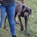 Great Dane Information Dog Breed Facts Dogell Com