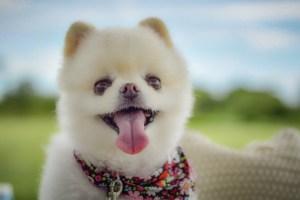 高齢者にオススメな犬種「ポメラニアン」