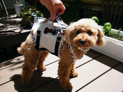 小型犬に介護用ハーネスを使用している写真