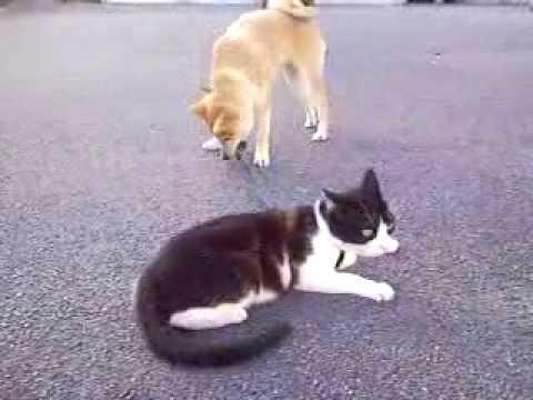 どうしても猫ちゃんと一緒に散歩に出かけたい柴犬ちゃん