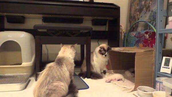 子猫にちょっかいをかける猫ちゃんに母猫の怒りがさく裂!