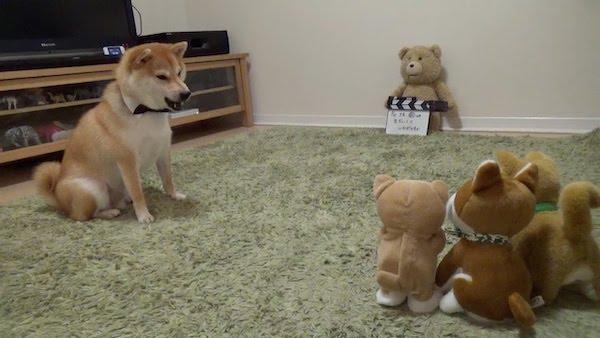 犬のおもちゃに囲まれ困惑する柴犬がかわいい動画