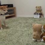 柴犬ちゃんとおもちゃのワンちゃんの対決?
