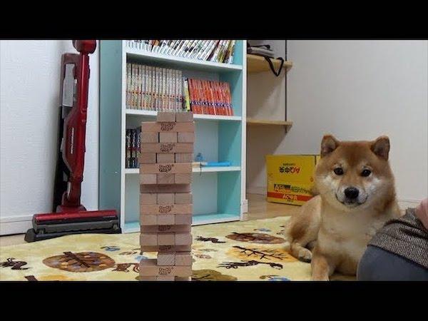 やっぱりジェンガは崩すものだと理解している柴犬くんがかわいすぎる