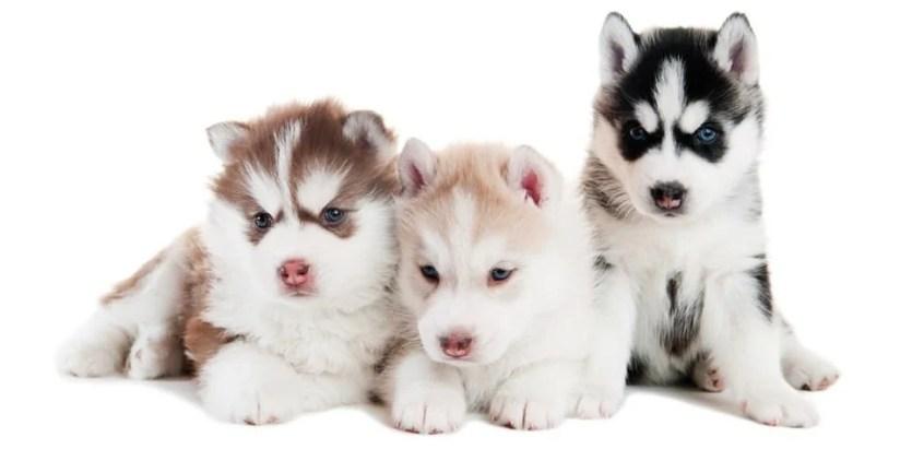 Husky Growth Chart | When Do Huskies Stop Growing