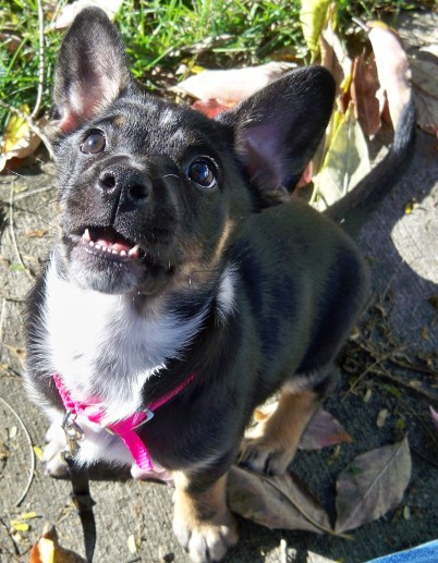 1st-foster-pup-roxie-1017-2014-hs2