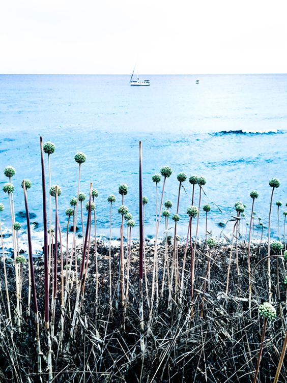 Cebollino mediterráneo.