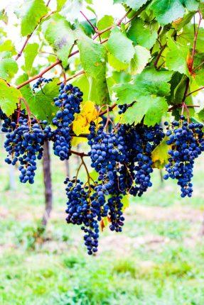 Viñas de Viena