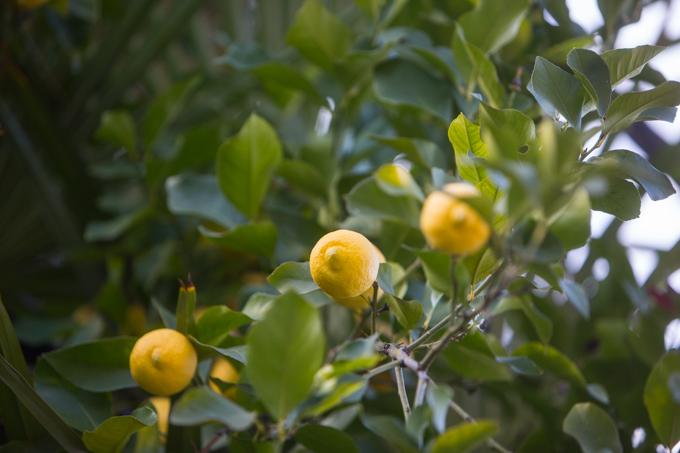 Limoneros y naranjos pueblan las calles de la comarca.