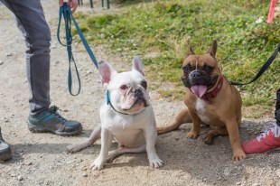 Duo de Bulldog Francés felices.