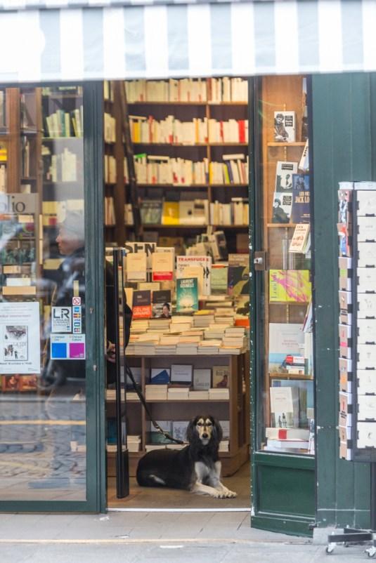 Lebrel Afgano, elegante, educado y curioso, en la librería DELAMAIN (155 Rue Saint Honoré).