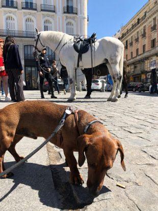 Perro en la Puerta del Sol