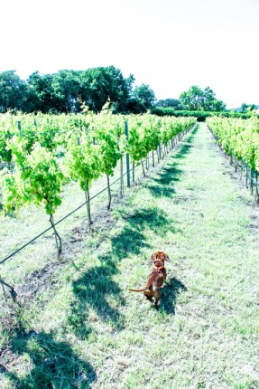 Paseo por la viñas con Eros.